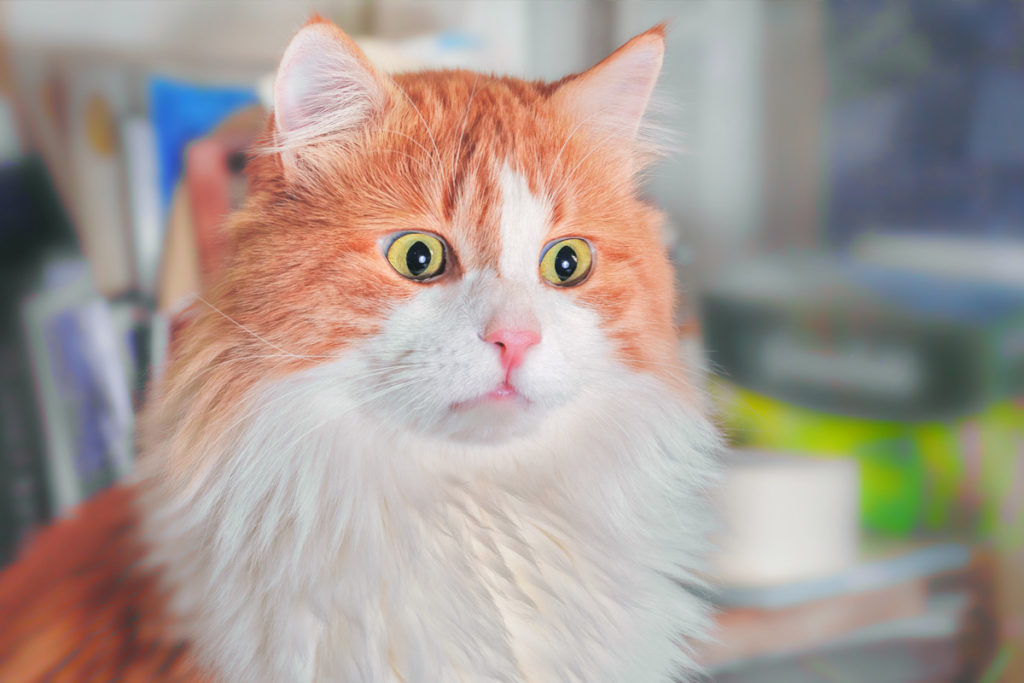 orange cat with scared eyes