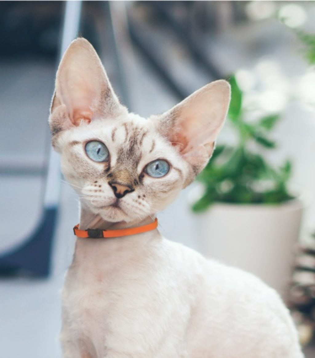 Cat wears orange collar